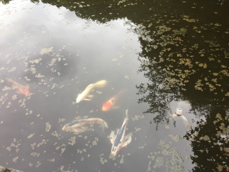 The beautiful koi.